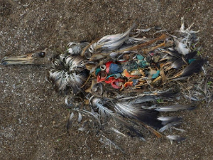 Dead seabird full of plastic