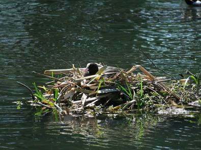 A nesting Coot in Sean Walsh Park
