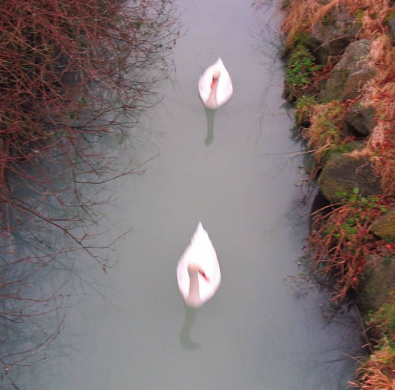 Swans swimming ina heavily polluted Whitestown Stream