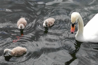 Swan and cygnets in Sean Walsh Park