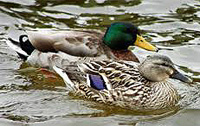 Mallard ducks in Sean Walsh Park
